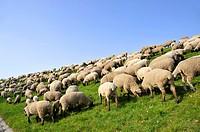Sheep on the dike.