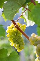 Riesling Wine grape.
