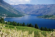 Orchard in bloom to Lake Chelan, Chelan County, Washington.