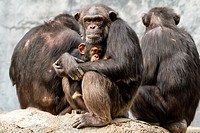 A mom Chimpanzee protecting her daughter during an insecure time.
