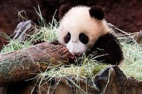 A young Giant Panda looking at the end of a log where it is sitting in the hay