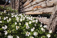 Wood anemone and fence, Småland, Sweden.