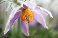 Pasque flower, Stenshuvud National Park, Skåne, Sweden.