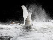 Whooper Swan, Söderåsen, Skåne, Sweden.