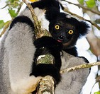 The Indri Indri is the largest Lemur in Madagascar. photo taken in Andasibe forest.