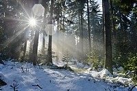 Landscape of a forest with Norway Spruces (Picea abies) in winter at snow melt, Germany.