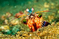 Mantis Shrimp, Peacock Mantis, Odomodactylus scylla, Lembeh, North Sulawesi, Indonesia, Asia.