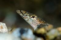 Elegant Sand-Diver (Trichonotus elegans) at Critters@Baengabang dive site in Pantar near Alor in eastern Indonesia.