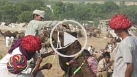 herdsmen tie a rope at the mouth of a camel at the Pushkar fair at Rajasthan in India