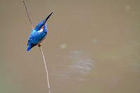 Common Kingfisher (Alcedo atthis) perched on branch. Kaeng Krachan National Park. Thailand.