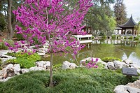 An avondale redbud in bloom in Spring at the Chinese Gardens of Huntington Gardens and Library, San Marino, California, USA