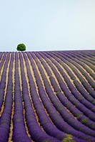 Lonely tree on a lavender field.