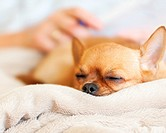 Sleeping red chihuahua dog on beige background. Closeup.