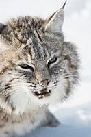 Bobcat (Lynx rufus) Captive young individual in late winter mountain habitat, Bozeman, Montana, USA.