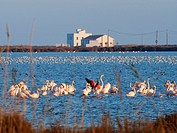Flamingoes (Phoenicopterus roseus) at Tancada Lagoon. Ebro River Delta Natural Park, Tarragona province, Catalonia, Spain.