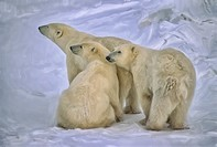 Polar bear with her yearling cubs.