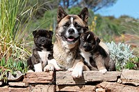 Dog American Akita / Great Japanese Dog / adult and two puppies.