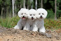Dog Bichon Frise / three puppies sitting in a park.