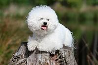 Dog Bichon Frise / adult lying on a tree stump.