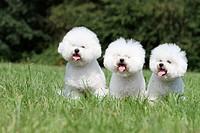 Dog Bichon Frise / Three adults sitting in a meadow.