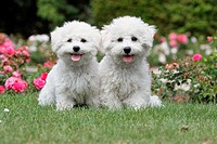 Dog Bichon Frise / two puppies sitting in a park.