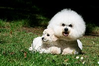 Dog Bichon Frise / adult and puppy in a park.