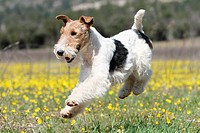 Dog Wire Fox Terrier / adult running in a field of flowers.