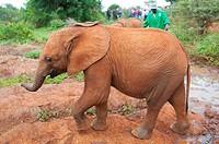 Lateral view of a walking elephant Loxodonta, David Sheldrick Wildlife Trust orphanage in Nairobi, Kenya, East Africa.