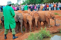 Group of African elephants Loxodonta, David Sheldrick Wildlife Trust Orphanage in Nairobi, Kenya, East Africa.