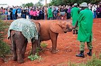 African elephants Loxodonta, David Sheldrick Wildlife Trust Orphanage in Nairobi, Kenya, East Africa.