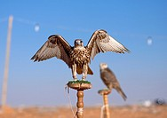 Falconry is known in Arabia for thousands of years. One species (shaheen) of falcons is on display together with the bustard, the most wanted quarry. ...