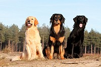 Hovawart dog / three adults different colors sitting in a park.