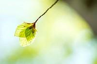 Soft birch leaves in spring.