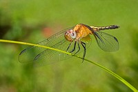 Dragonfly, Tropical Rainforest, Costa Rica, Central America, America.