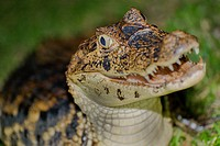 Spectacled Caiman, White Caiman, Common Caiman, Caiman crocodilus, Tropical Rainforest, Costa Rica, Central America, America.