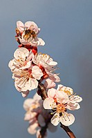 European honey bee (Apis mellifera) collecting nectar on Apricot flowers (Prunus armeniaca), variety Bhart. Location: Male Karpaty, Slovakia.