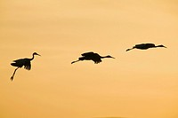 Sandhill Cranes (Grus canadensis) take flight at dawn in the Bosque del Apache National Wildlife Refuge, Socorro County, New Mexico, United States