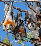 Three Grey Headed Flying Foxes, Pteropus poliocephalus. These bats are endemic to eastern Australia and declining numbers have caused them to be liste...