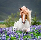 Horse running by lupines. Purebred Icelandic horse in the summertime with blooming lupines, Iceland.