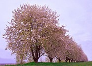 The fruit tree blossom in Ortenau, Baden-Württemberg, Germany.
