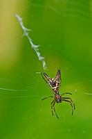 Spider, Micrathena sagittata,Tropical Rainforest, Marino Ballena National Park, Uvita de Osa, Puntarenas, Costa Rica, Central America, America.