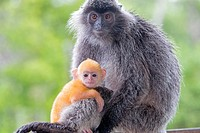Asia,Borneo,Malaysia,Sabah,Labuk Bay,Silvery lutung or silvered leaf monkey or the silvery langur (Trachypithecus cristatus),adult and offspring (oran...