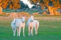 Four white young brothers horses in the salmantinian dehesa, Ledesma, Salamanca, Castilla y Leon, Spain.