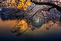 A view to sunrise and the Thomas Jefferson Memorial and it´s reflection thru the Yoshino Cherry Tree Blossoms from the Tidal Basin in Washington DC du...