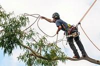 Tree pruner at work on a lemon-scented gum (Eucalyptus) in suburban Melbourne, Australia.