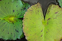 Waterlily leaves close up, Topotepuy gardens, Caracas, Venezuela
