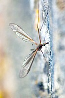 Crane Fly a member of the Tipulidae family. Also commonly referred to as ´Daddy Long Legs.´