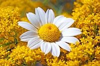 Single feverfew blossom between yellow blooming wildflowers.