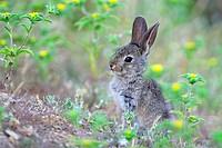 Rabbit.Oryctolagus cuniculus.Extremadura.Spain.