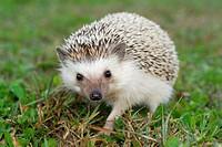 Algerian Hedgehog.Atelerix algirus.